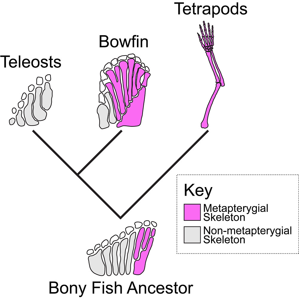 Schematics show the arrangement of bones in fins and limbs. Elements that are derived from the ancestral metapterygium are shown in magenta. The tetrapod limb and a portion of the bowfin fin arose from the metapterygium, while teleosts have lost the metapterygial components. Credit: M. Brent Hawkins