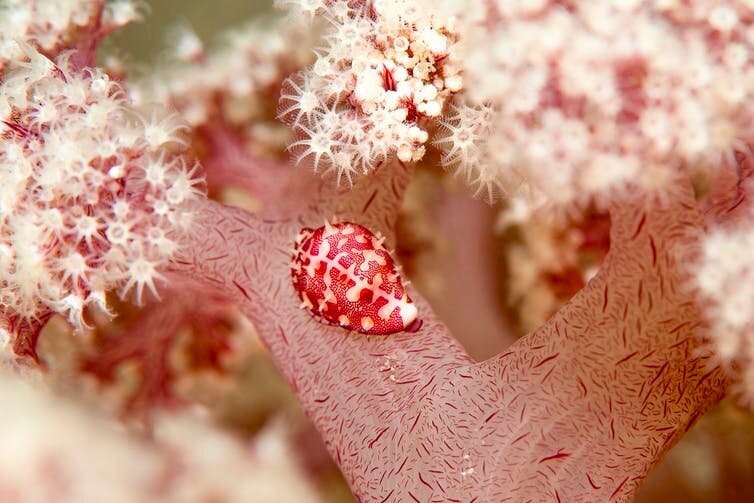 An ovulid on a cauliflower coral colony. Such coral may be extinct within a decade. Credit: Author supplied