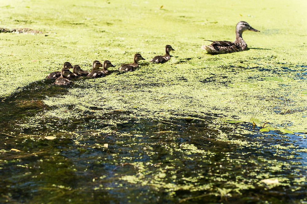 Ducks swim through duckweed and algae floating on Lake Mendota during the summer of 2015. Algae blooms are a common sight on many lakes, but new research indicates it's not a universal trend. Credit: Jeff Miller/WISC