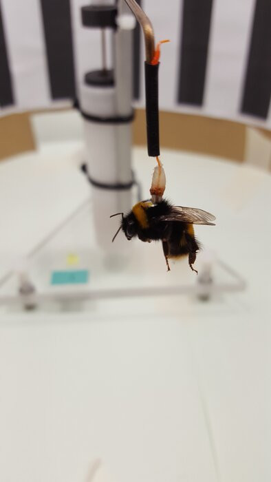 A bumblebee attached to a flight mill. Credit: Daniel Kenna / Imperial College London