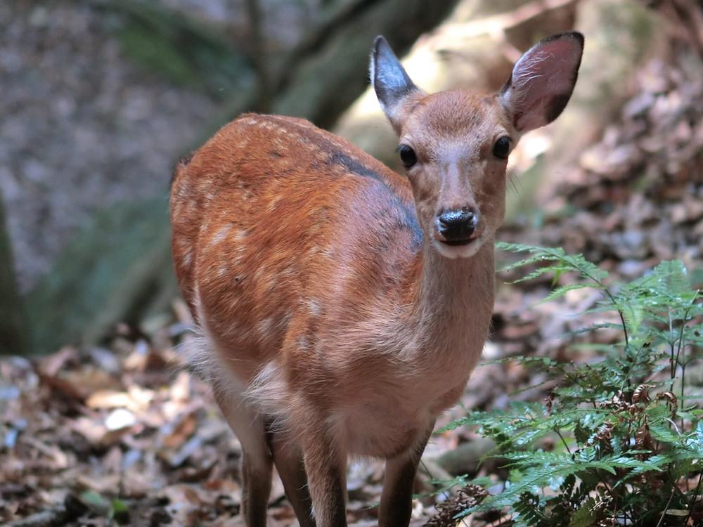 A female yakushika deer on Yakushima Island . Credit: Yoshimi Agetsuma-Yanagihara