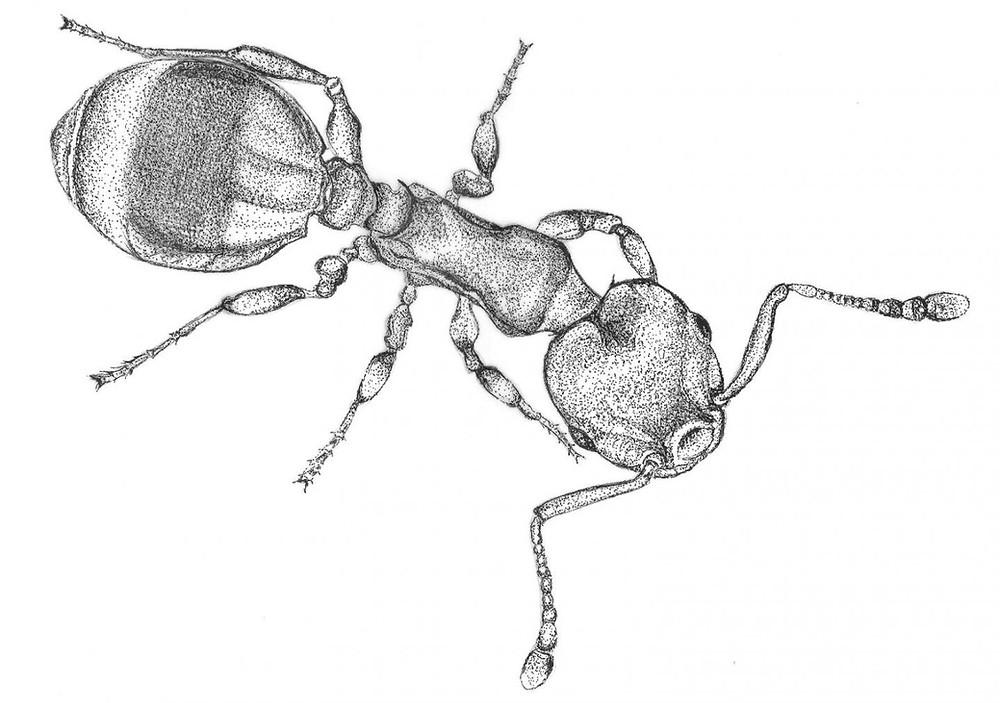Drawing of a Temnothorax nylanderi worker ant Credit: ill./©: Inon Scharf, Tel Aviv University