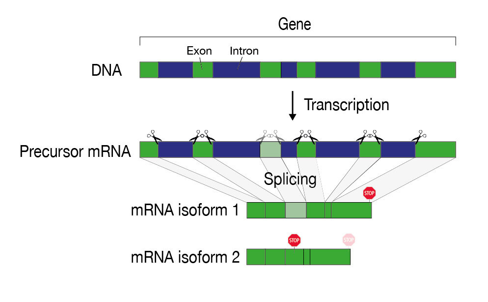 """The information of a gene is """"fragmented"""" on the DNA and must be assembled during gene expression. During the splicing process, introns (blue) are recognized and cut out. After splicing and further maturation processes, the mRNA serves as a template for protein production. Alternative splicing can result in different mRNA variants (isoforms) of the same gene. Credit: UniBE / NCCR RNA & Disease"""