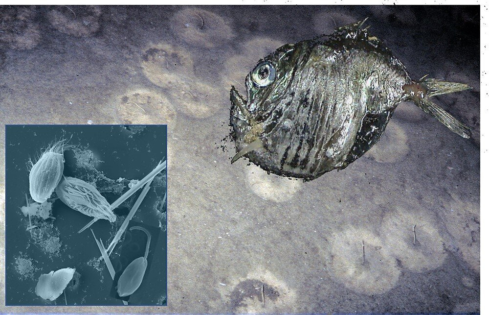 The deep sea has an enormous diversity of species. Among the organisms, unicellular organisms such as bacterivorous and parasitic flagellates and ciliates dominate. Credit: UoC / Hartmut Arndt