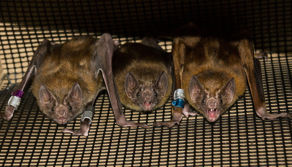 """The study suggests vampire bats live in communities that are """"more fluid and open,"""" senior author Gerald Carter says. Credit: Rachel Moon"""