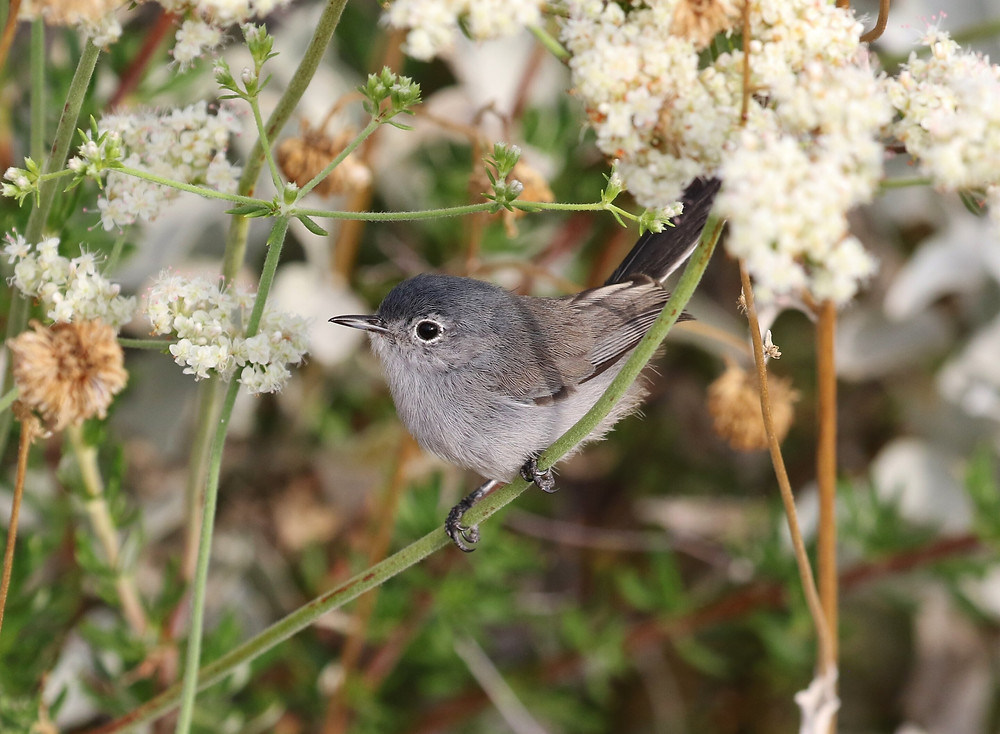 The California gnatcatcher was at the center of a decades long fight because it was designated as a threatened species. A new approach to genomic species delineation put forth by evolutionary biologists led by Jeet Sukumaran at SDSU could impact policy and lend clarity to legislation for designating a species as endangered. Credit: Tom Benson, CC BY-NC-ND 2.0, https://www.flickr.com/photos/40928097@N07/48246028557