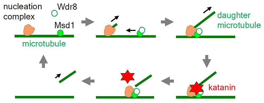 In wild-type plant cells, lattice-bound Msd1 (filled green circle) recruits cytoplasmic Wdr8 (open green circle) to form a heteromeric complex, which is translocated to and associated with a microtubule nucleation complex (orange) on a preexisting microtubule (green line). After nucleation of a daughter microtubule, Msd1-Wdr8 stabilizes the base of the Y-shaped nucleation structure and then recruit katanin (red) to sever the basal end of the daughter microtubule. Credit: Takashi Hashimoto