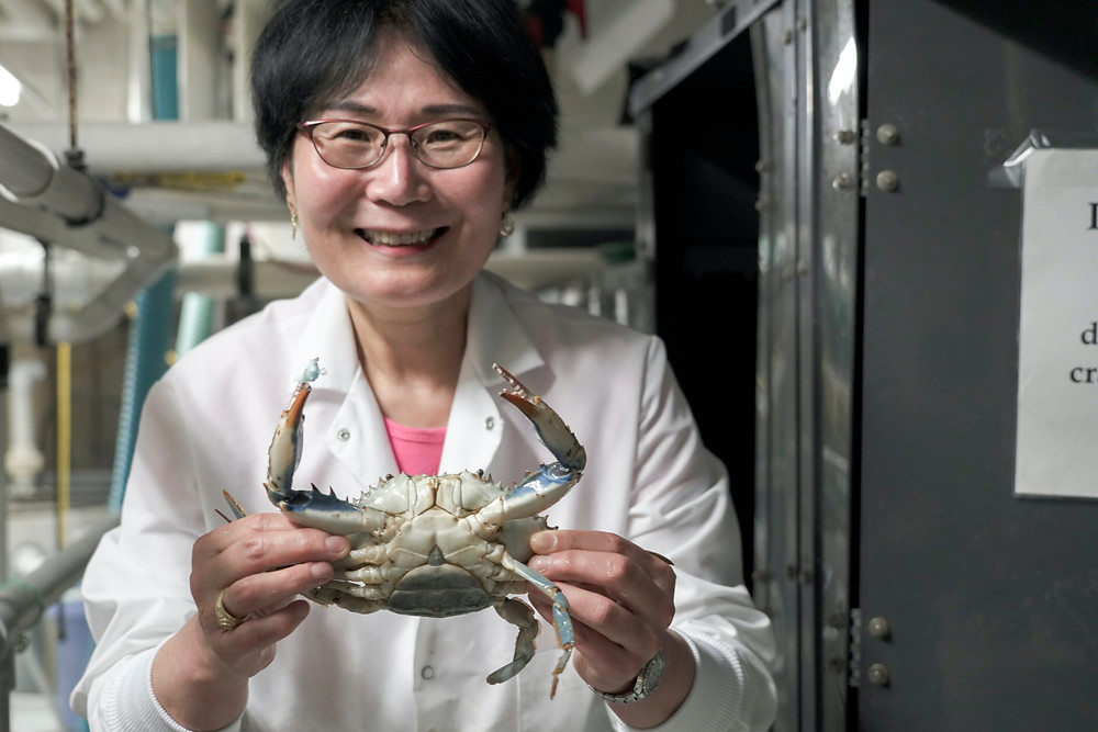 University of Maryland Center for Environmental Science Professor Sook Chung, an expert in crab biology, led the project to sequence the blue crab at the Institute of Marine and Environmental Technology in Baltimore. Credit: University of Maryland Center for Environmental Science/Cheryl Nemazie