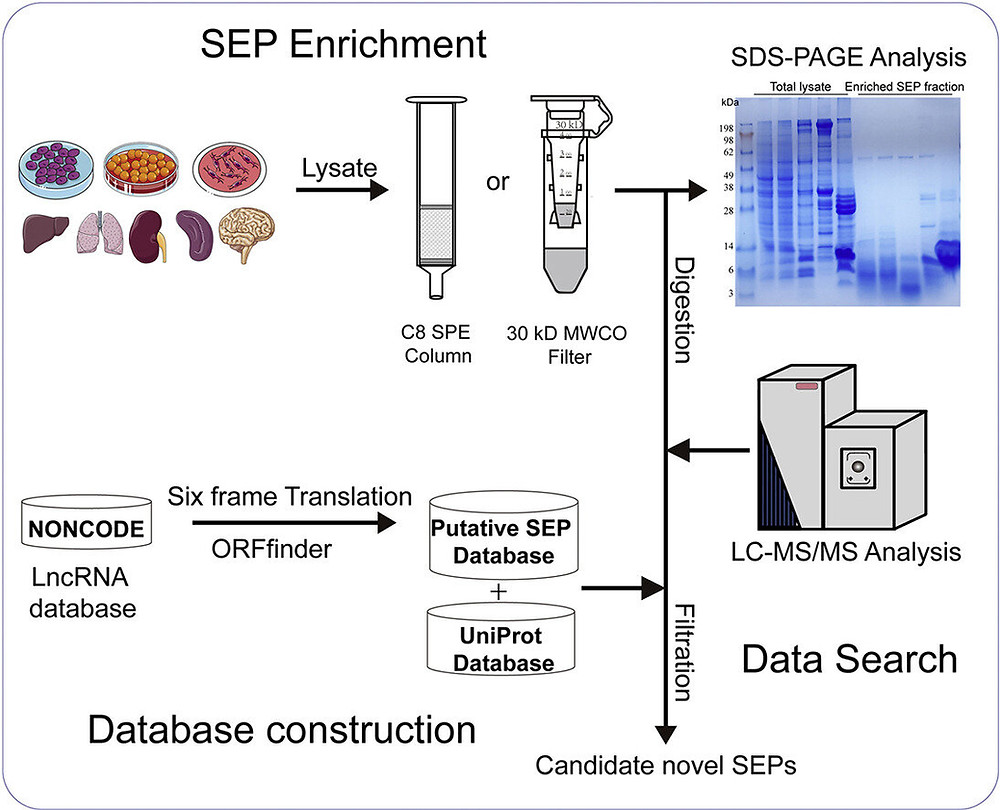 Credit: Molecular & Cellular Proteomics (2021). DOI: 10.1016/j.mcpro.2021.100109