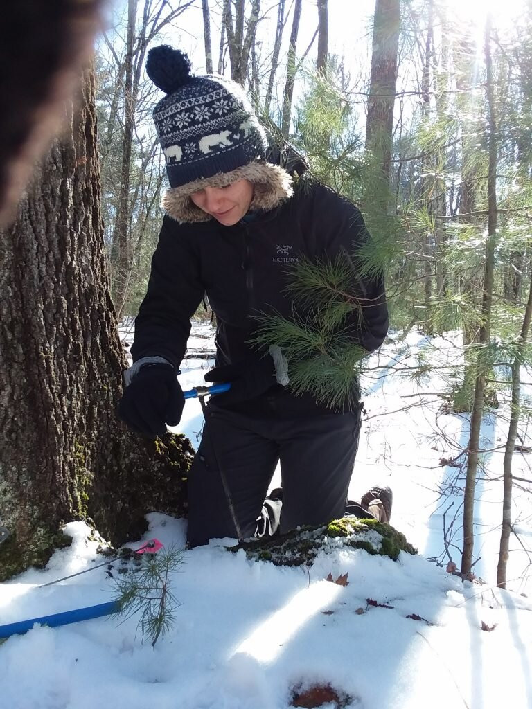 Meghan Blumstein sampling carbon in tree roots in February 2019. Credit: Audrey Barker Plotkin.