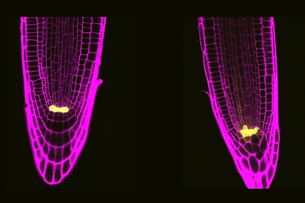 Arabidopsis roots stained and visualized under a confocal microscope. The root cells contour is shown in pink. In yellow, the stem cells from the quiescent centre. In the left, a wild-type root, and in the right, a root with mutated BRAVO and WOX5 genes. These mutation produces the division of the cells of the quiescent centre, which are more abundant in the right image. Credit: CRAG