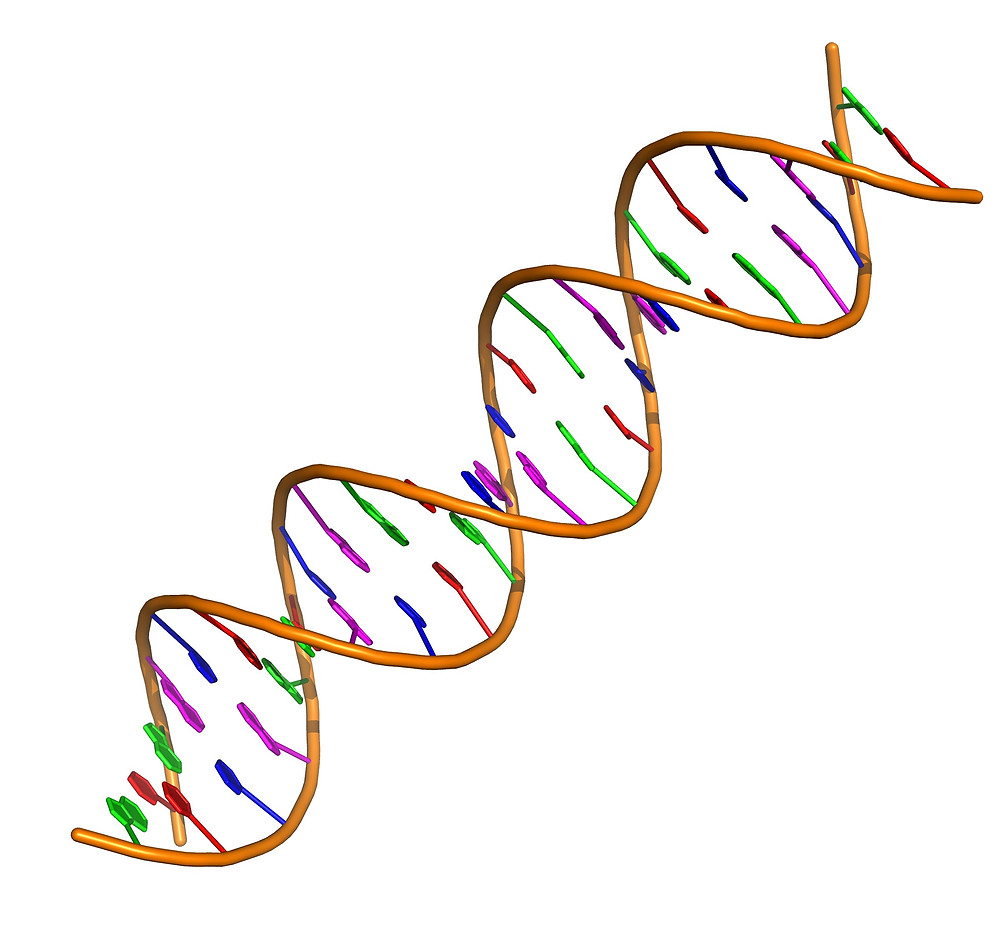 A double stranded DNA fragment. Credit: Vcpmartin/Wikimedia/ CC BY-SA 4.0