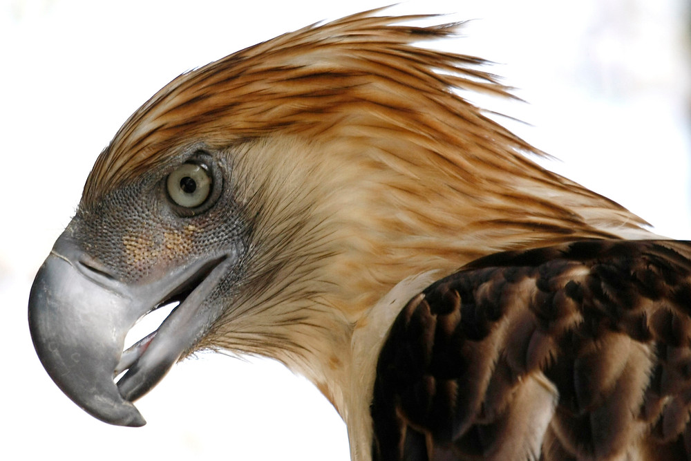 """This Sunday, March 14, 2010 file photo shows """"Girlie,"""" a 29-year-old Philippine Eagle at the Parks and Wildlife Center at Manila's Quezon City. An analysis of data from the International Union for the Conservation of Nature and BirdLife International released on Monday, Aug. 30, 2021 found that 30% of 557 raptor species worldwide are considered near threatened, vulnerable or endangered. Eighteen species are critically endangered, including the Philippine eagle, researchers found. Credit: AP Photo/Bullit Marquez"""