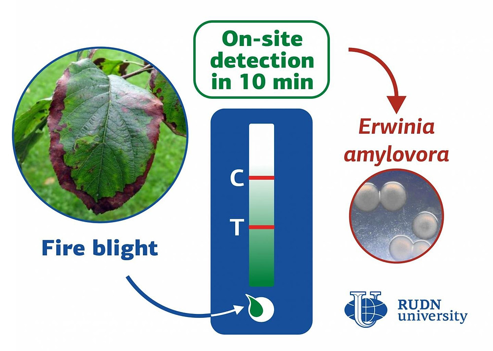RUDN University biotechnologists have created a method for detection of bacterial infection in apple, pear, hawthorn and other plants of the Rosaceae family. The test does not require laboratory equipment, the result is ready in 10 minutes. This will allow detecting the disease quickly and prevent the spread of infection. Credit: RUDN Unviersity
