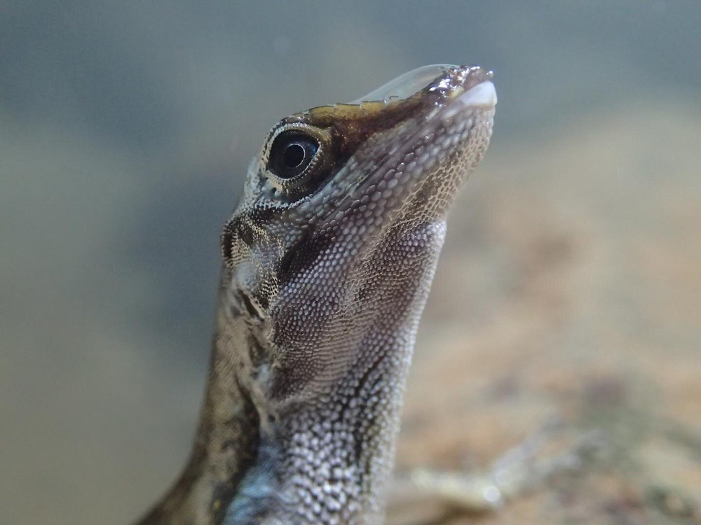 Close-up of an Anolis lizard with a rebreathing bubble on its snout. Credit: Lindsey Swierk