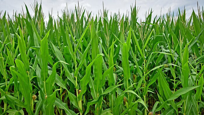 New research shows the interactions of crop insurance, climate change and corn yield risk. Credit: NC State University