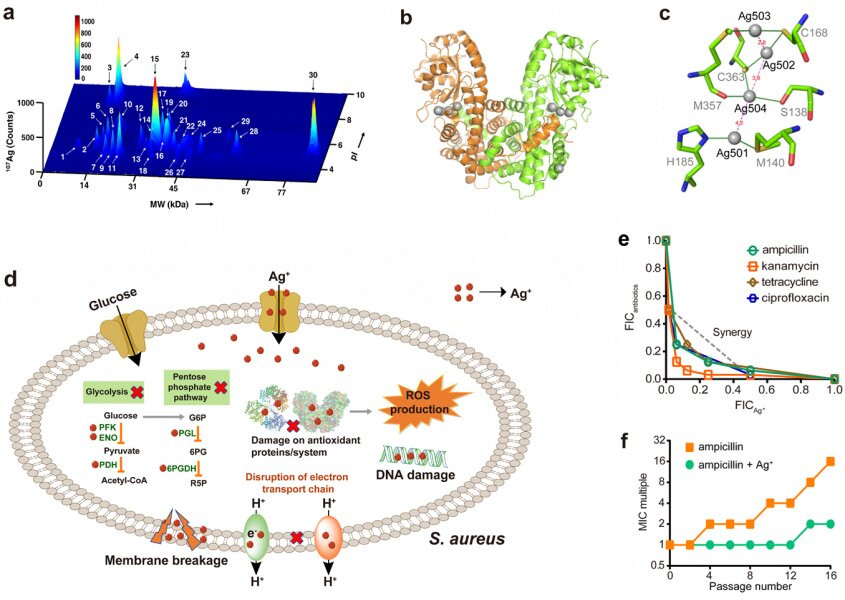 (a) Exploration of Ag+-binding proteins in the soluble fraction of S. aureus with LC-GE-ICP-MS. (b) The overall structure of Ag-bound 6PGDH. (c) Silver coordination sites in 6PGDH and silver cluster composed of four adjacent Ag ions. (d) Diagram showing that Ag+ kills S. aureus by targeting multiple essential pathways. (e) Isobolograms of the combination of conventional antibiotics and Ag+ against S. aureus Newman. (f) Resistance acquisition curves during serial passage with the subinhibitory concentration of ampicillin or combination of ampicillin and Ag+ against S. aureus Newman. Credit: The University of Hong Kong