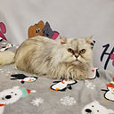 Carol The Persian Cat