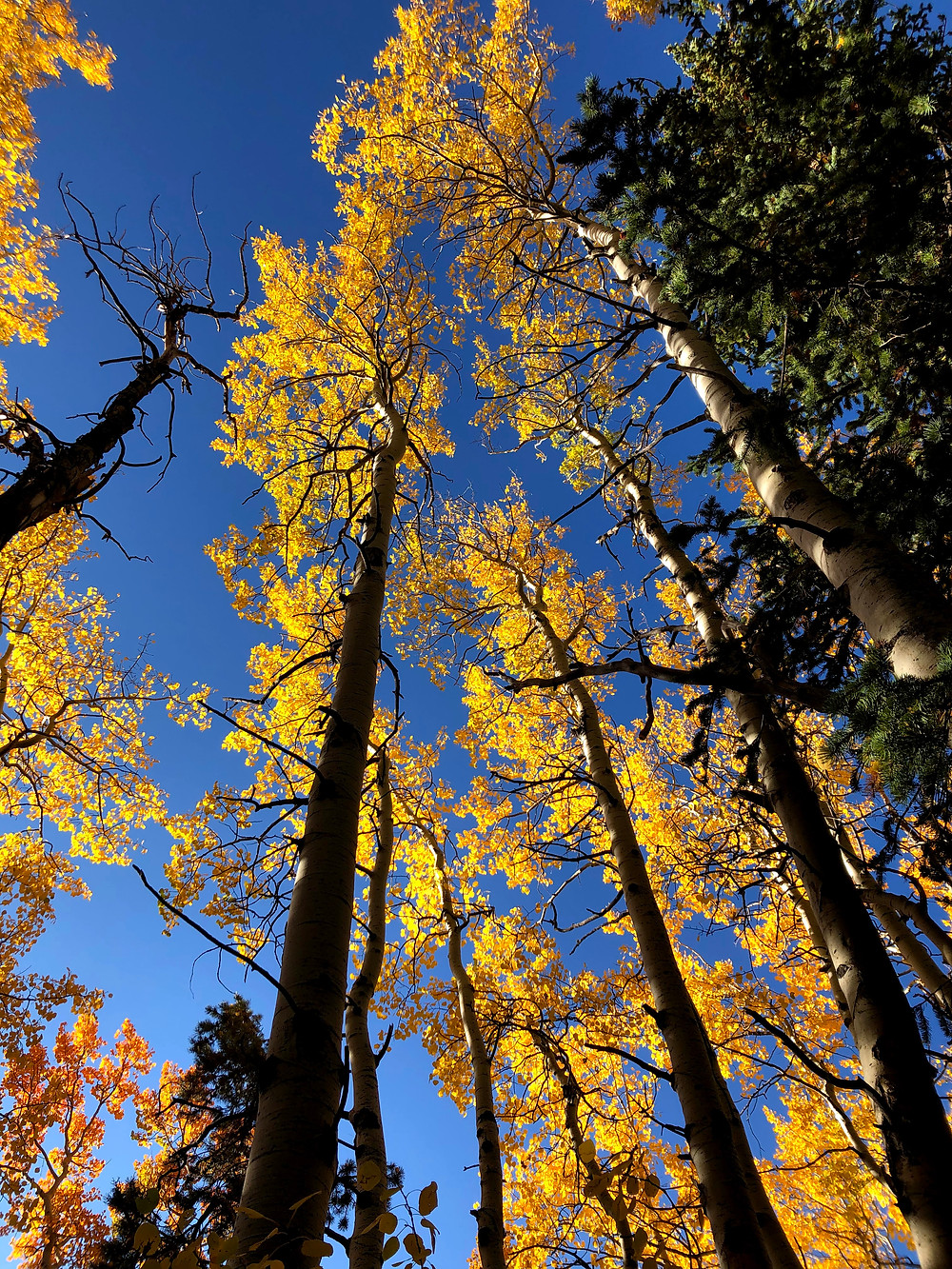 Tall golden aspens in the forest.