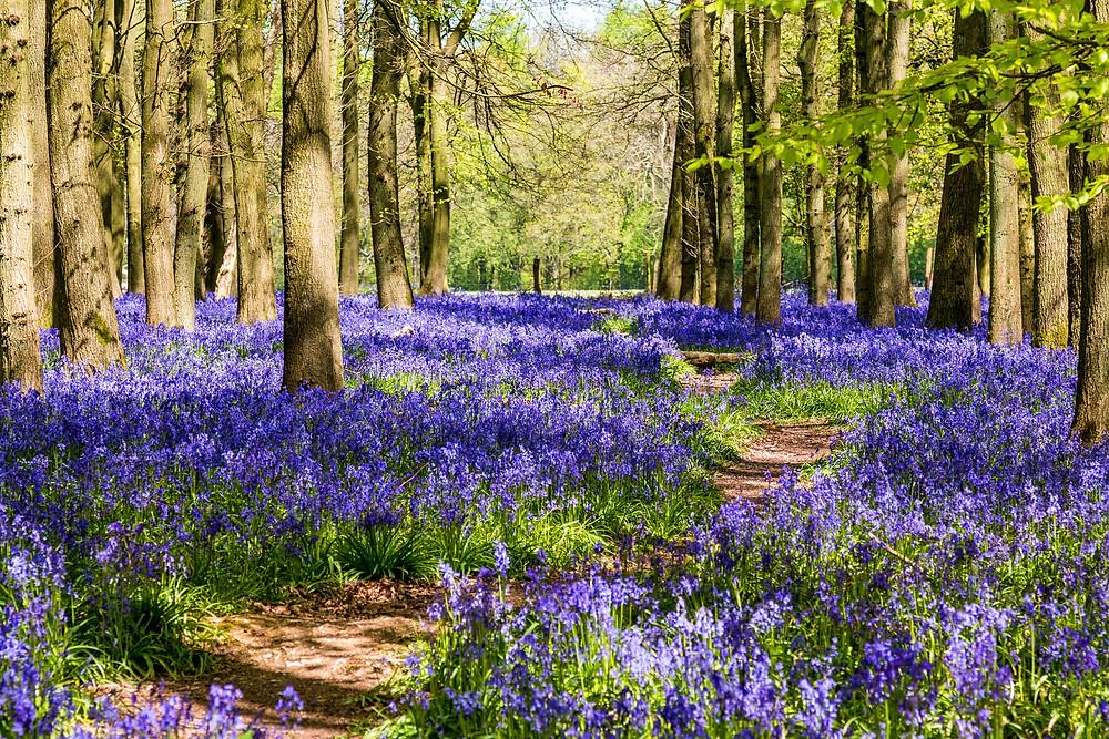 Bluebonnet flower field with trees