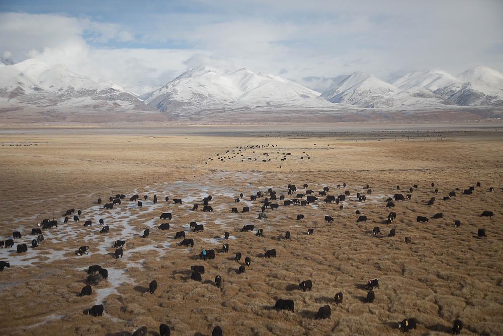 Yaks cross a valley in Tibet.