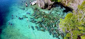 Manatees swimming in the spring