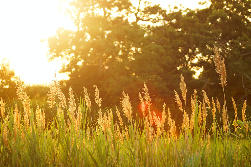 Grass blowing in the breeze at sunset