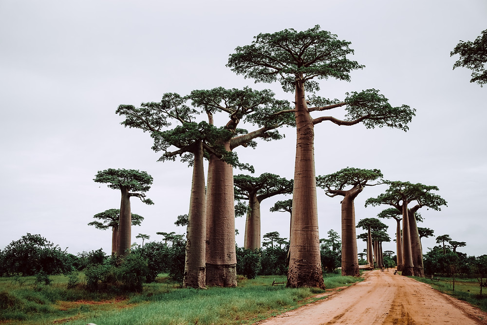 Tall baobab trees along dirt road in Madagascar.