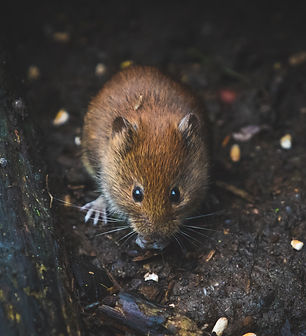 Get help with mice before they become a problem