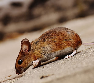Less Pests can help with mouse infestations