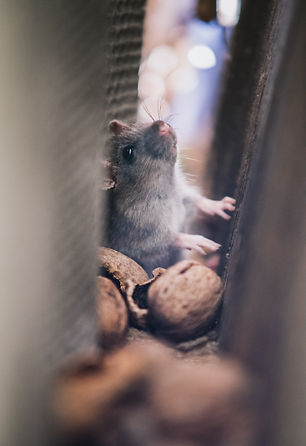 Less Pests can help with rat problems