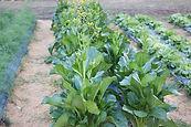Brassica_home.jpg