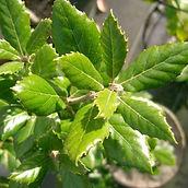 Quercus_home.jpg