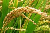 rice-plant_home.jpg
