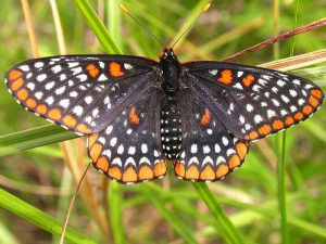 This North American Butterfly was Named After the First Lord of Baltimore