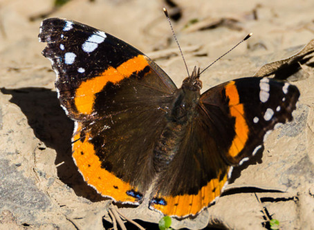 Another Butterfly of Spring - the Red Admiral