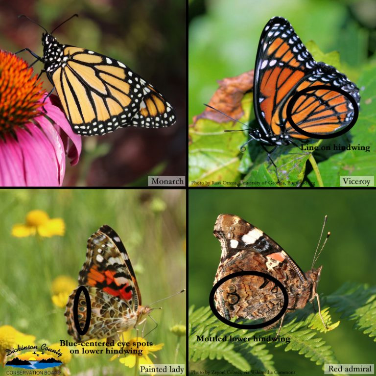 HOW TO TELL APART FOUR ORANGE AND BLACK BUTTERFLIES