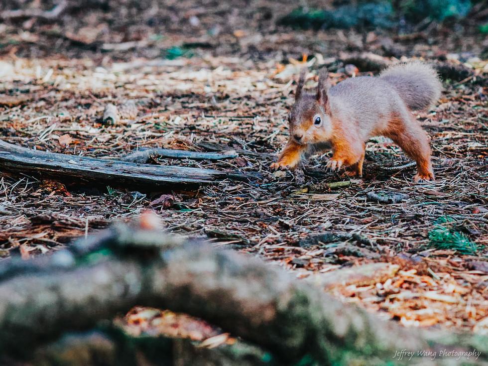 Stalking squirrel 3.jpg