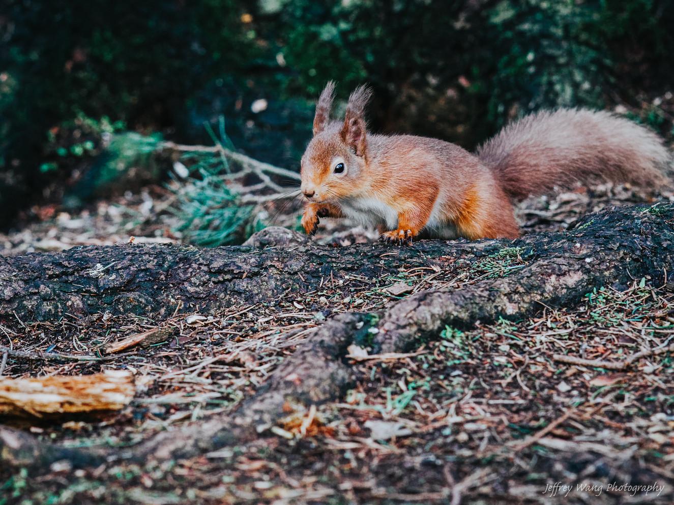Stalking squirrel 1.jpg