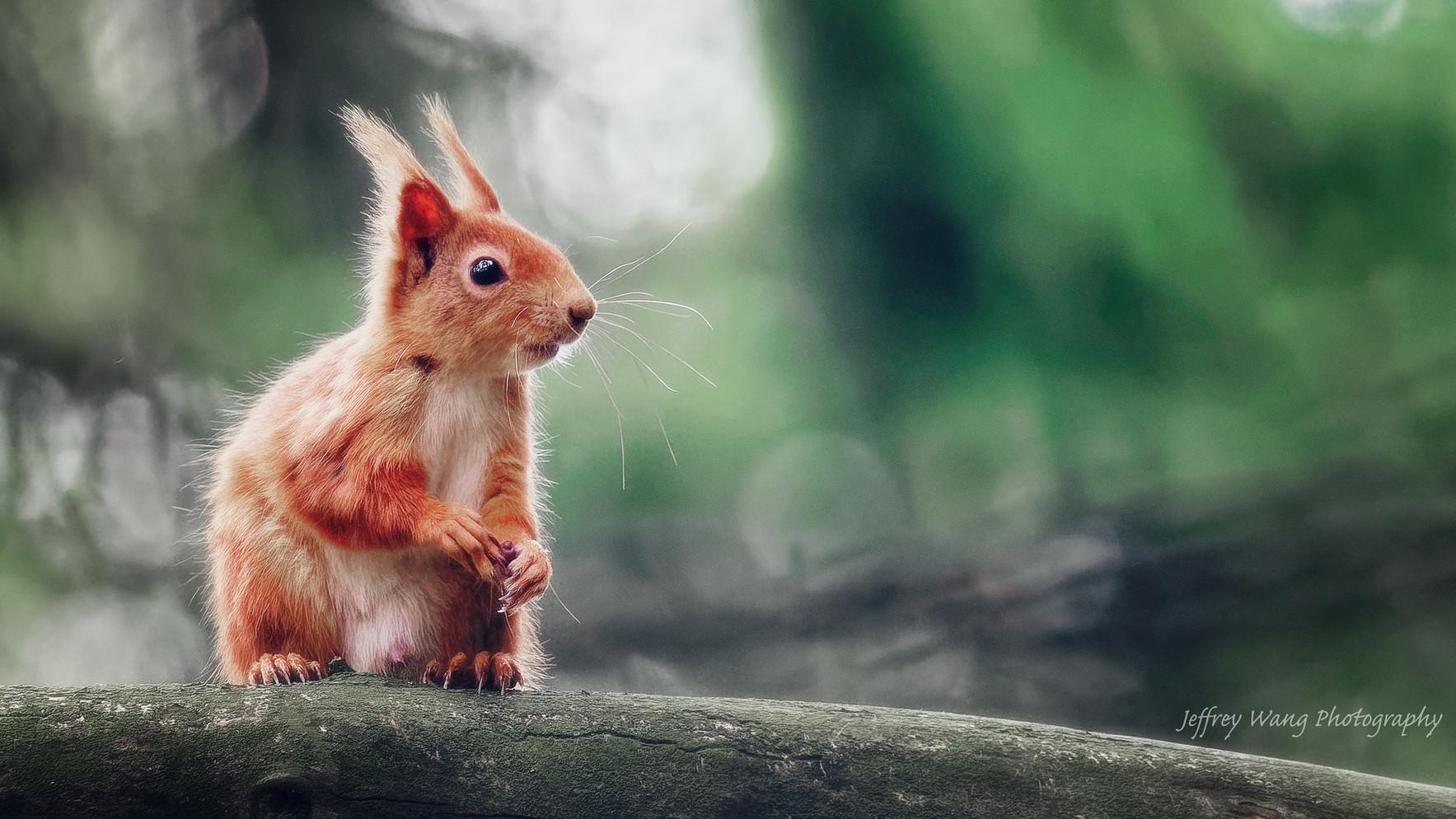 Red squirrel 2.jpg