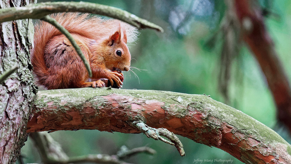 Red squirrel 3.jpg