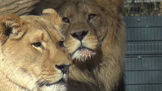 Löwengehege