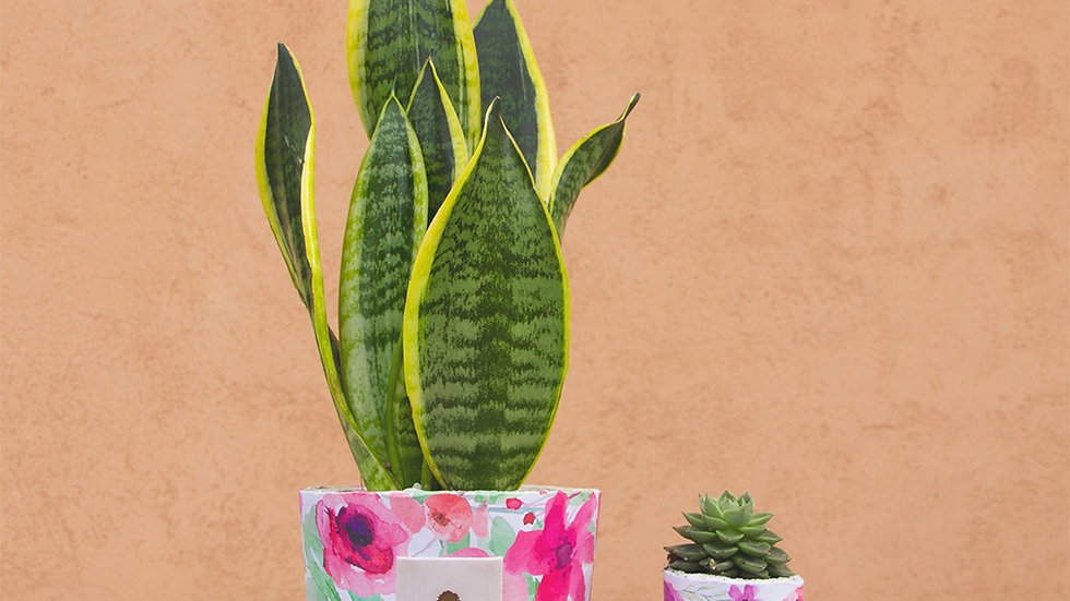 Flower limited edition festa della mamma con bonsai