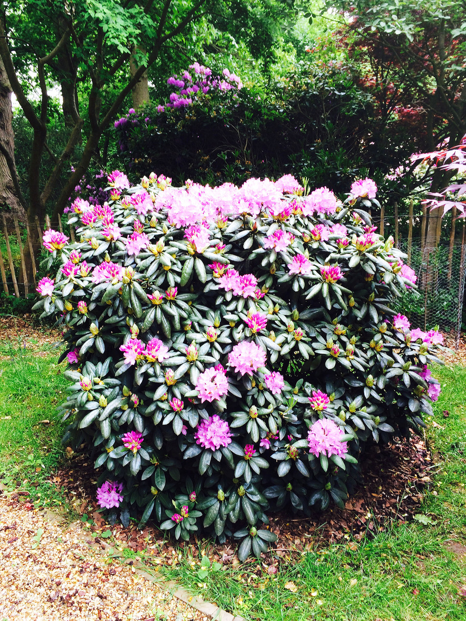 Rhododendron as a feature plant. Thorpe, Norwich, Norfolk
