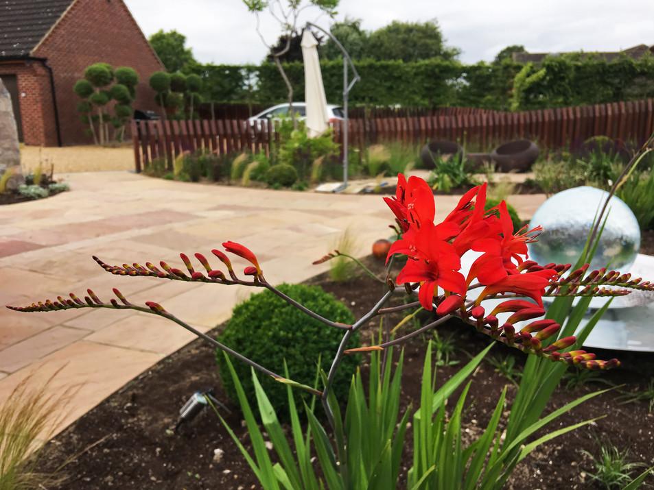 Crocosmia Lucifer in newly planted border. Wymondham, near Norwich, Norfolk