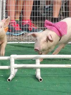 Pig-races-2013.jpg