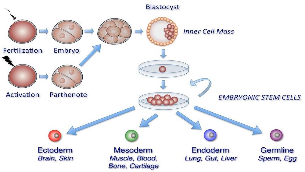 Stem Cell IMAGE.jpg