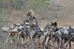 wild dog pups playing