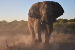 Large bull elephant