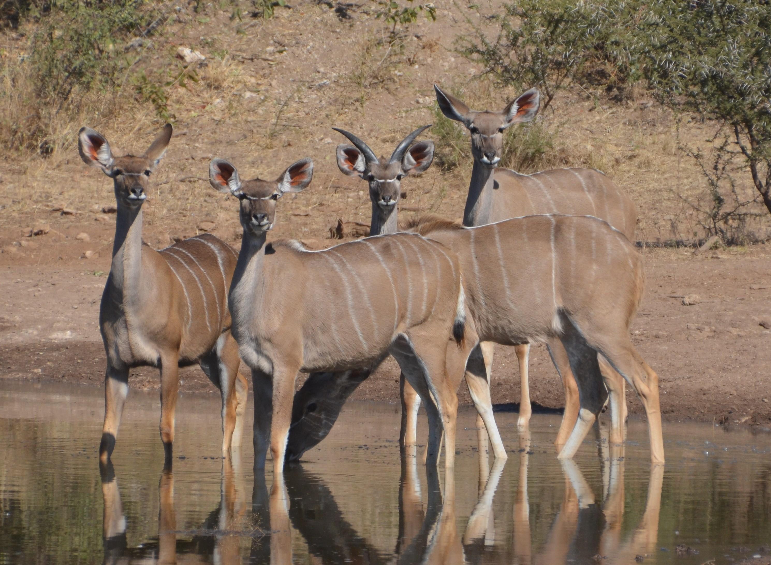 Herd of female kudu